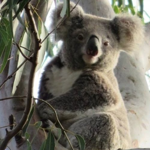 The Mill continues industry-leading koala program
